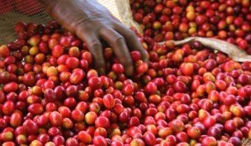 Burundi Kibingo, een washed anaerobic met Oro yeast!